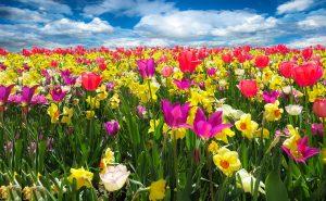 pole tulipany narcisy